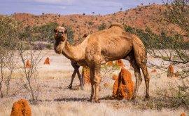 Boulia Camel in outback landscape
