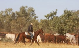 Boulia Cattle Droving