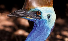 cassowary bird in cairns
